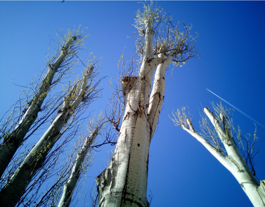 Trees that have been topped and are sprouting water sprouts against a blue sky